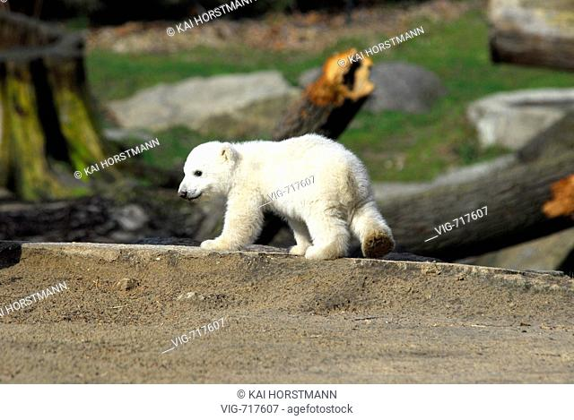 The ice bear baby Knut presents itself for the first time at the zoo Berlin. - BERLIN, BERLIN, GERMANY, 23/03/2007
