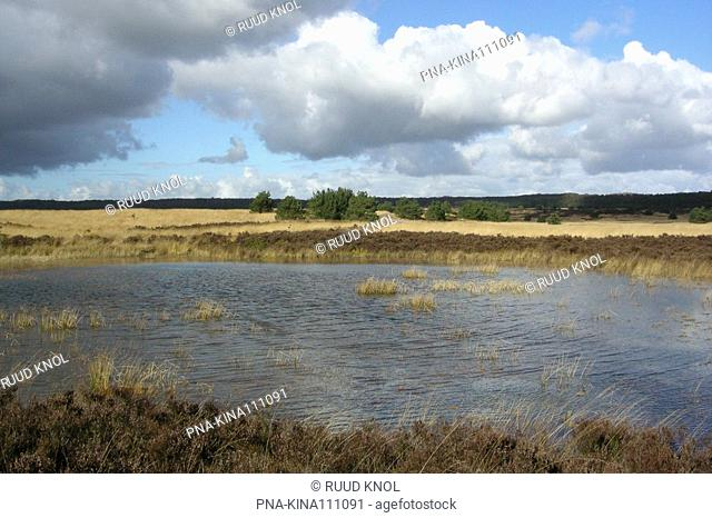 Purple Moor-grass Molinia caerulea - Kroondomein Hoog Soeren, Asselse heide, Veluwe, Guelders, The Netherlands, Holland, Europe