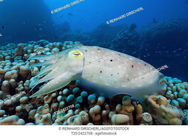 Broadclub Cuttlefish, Sepia latimanus, Great Barrier Reef, Australia