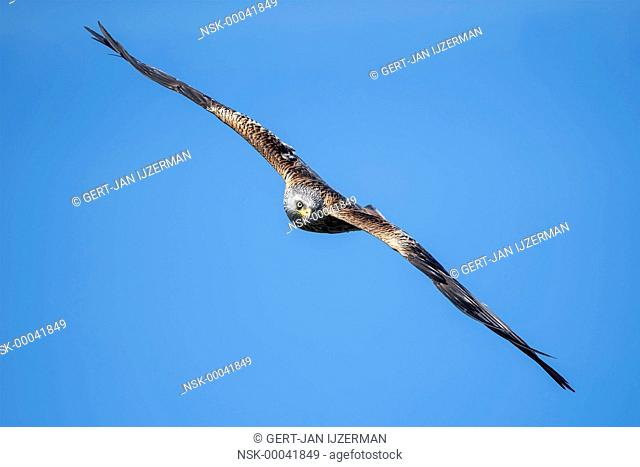 Red Kite (Milvus milvus) ready to dive, Germany, Eifel