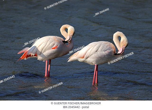 Two Greater Flamingos (Phoenicopterus roseus), preening, Camargue, France, Europe