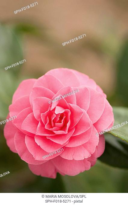 Pink camellia (Camellia japonica)