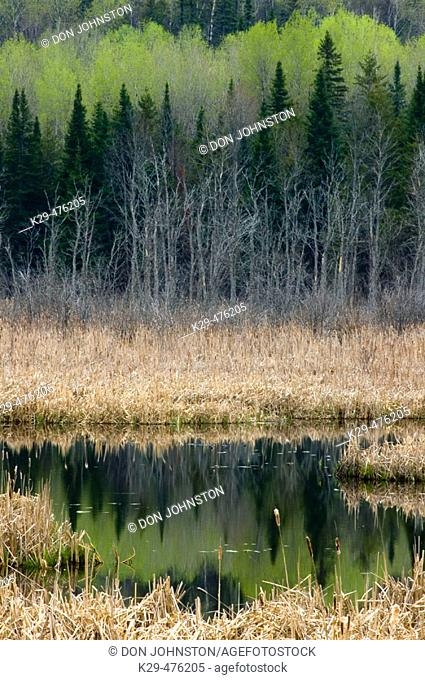 Early spring reflections in cattail marsh pond. Whitefish. Ontario. Canada