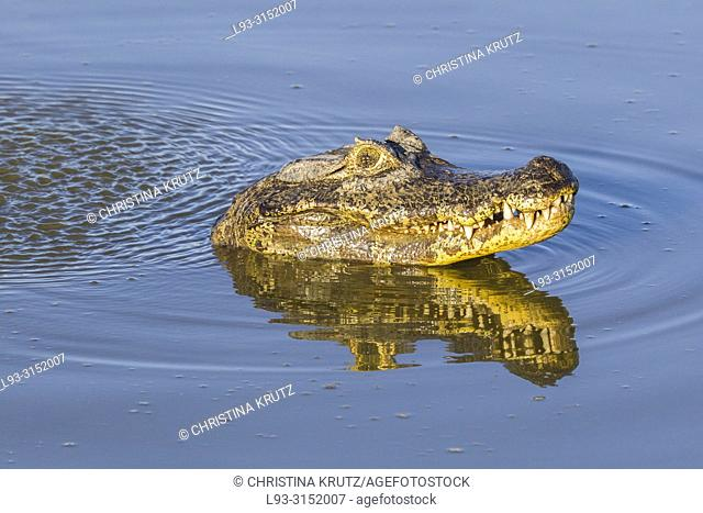 Yacare Caiman, Caiman yacare, marking his territory by making sounds and lifting water bubbles, Pantanal, Mato Grosso, Brazil