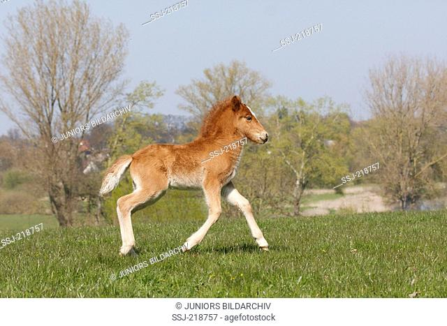 Icelandic horse. Chestnut foal trotting on a meadow. Germany