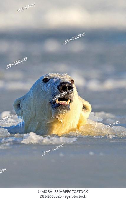 United States , Alaska , Arctic National Wildlife Refuge , Kaktovik , One sub adult polar bear swim in slush ice along a barrier island outside Kaktovik, Alaska