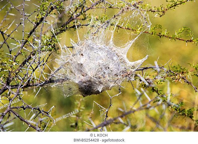 spiderweb in a bush, Namibia, Etosha National Park