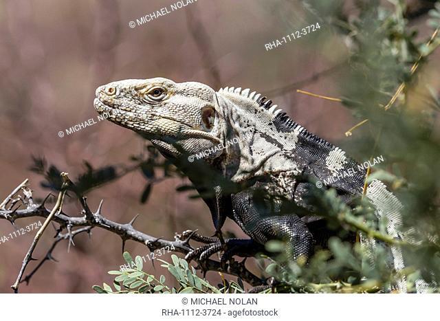 Adult San Esteban spiny-tailed iguana (Ctenosaura conspicuosa), in shrub, Baja California, Mexico, North America