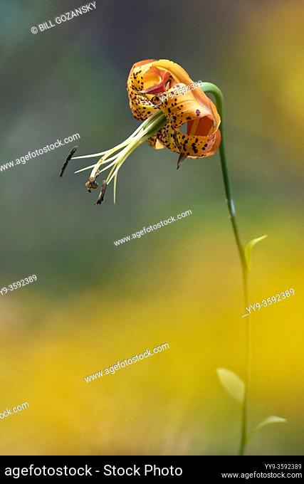Turk's Cap Lily (Lilium superbum) - DuPont State Recreational Forest, near Hendersonville, North Carolina, USA