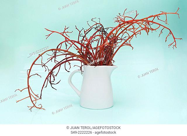 Red stems in a white jar