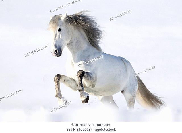 Pure Spanish Horse, Andalusian. Gray stallion galloping in snow. Germany