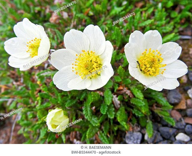 mountain avens (Dryas octopetala), flowers, Norway, Svalbard, Bockfjorden