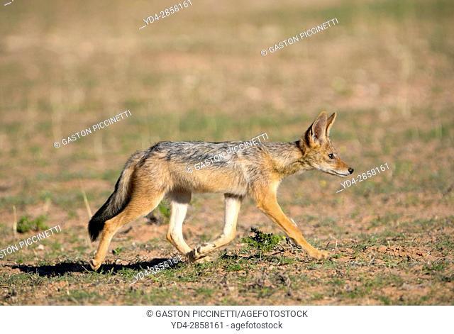 Black-backed Jackal (Canis mesomelas) - Young, Kgalagadi Transfrontier Park, Kalahari desert, South Africa/Botswana