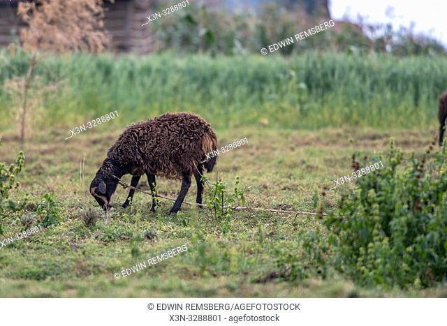 Sheep grazing on leash near Volcanos National Park , Rwanda