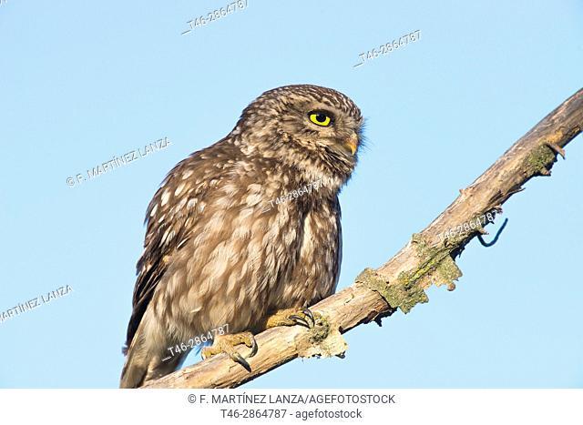 European owl or common owl (Athene noctua). Photographed in the Regional Park of Guadarrama. Madrid