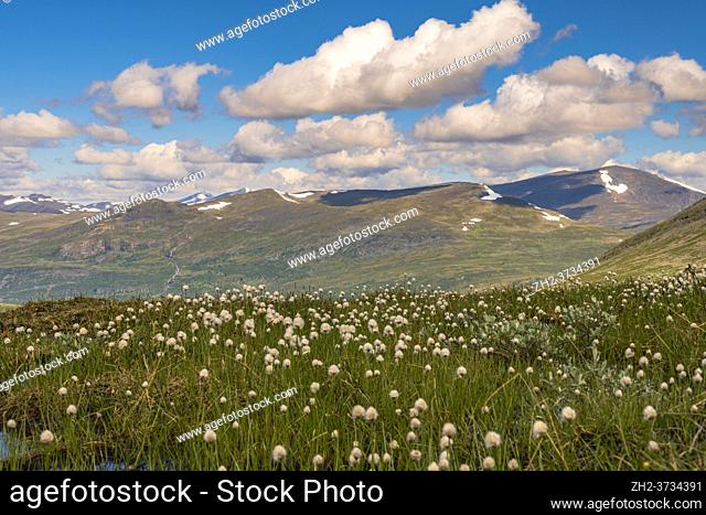 Cottongrass with mountains in the background along Kingstrail in Stora sjöfallet nationalpark, Swedish Lapland, Sweden