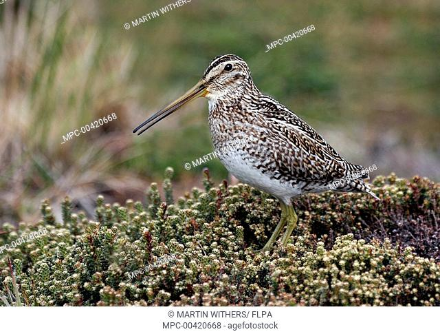 South American Snipe (Gallinago paraguaiae), Falkland Islands