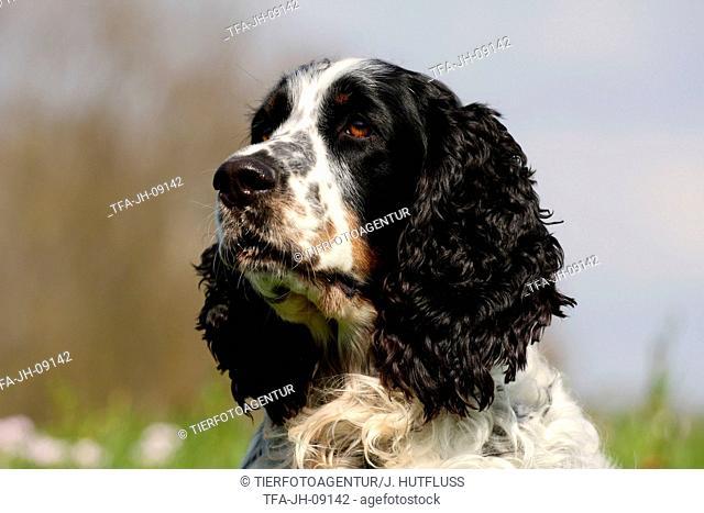 English Springer Spaniel Portrait