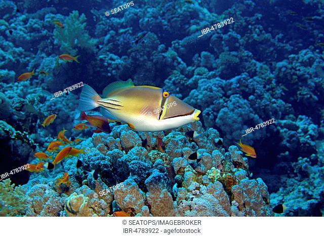 Arab Picasso triggerfish (Rhinecanthus assasi) in coral reef, Sharm el Sheikh, Sinai, Egypt