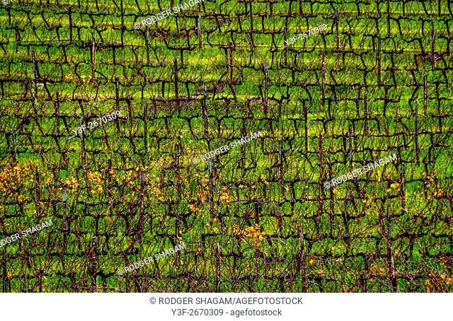 An autumn vineyard on a hillside. Winelands near CApe Town, South Africa
