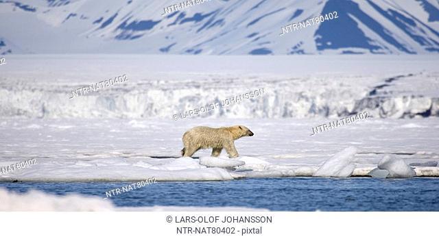 A polar bear, Spitsbergen, Svalbard, Norway