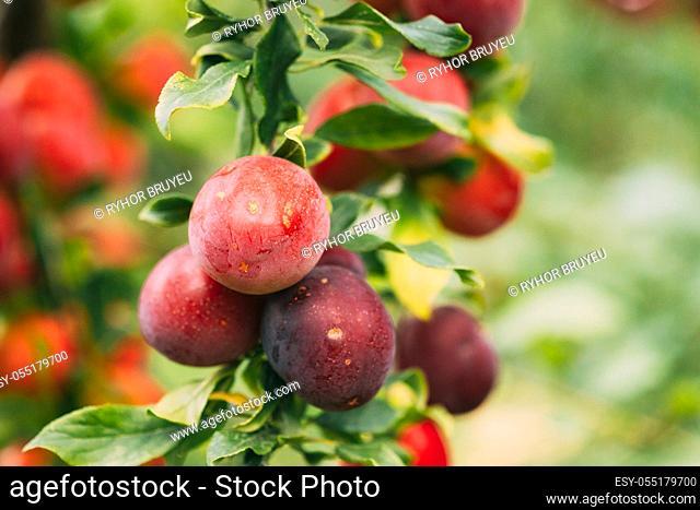 Ripe Prunus berries on Prunus trees In Summer Vegetable Garden