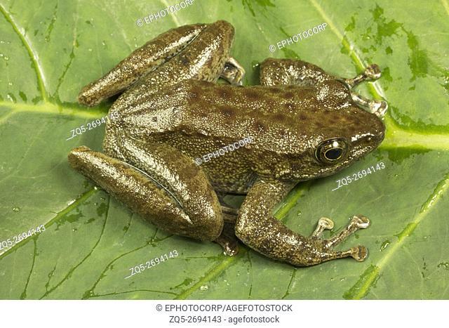 Ranidae, Torrent frog, Amolops sp. , Jampui hills, Tripura