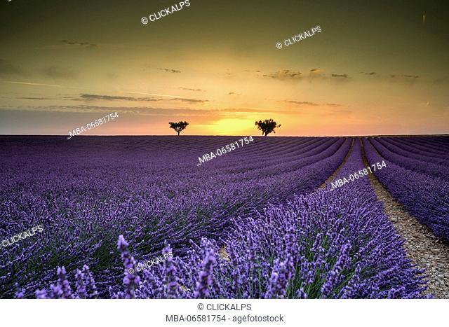Lavender raws with trees at sunset, Plateau de Valensole, Alpes-de-Haute-Provence, Provence-Alpes-Côte d'Azur, France, Europe