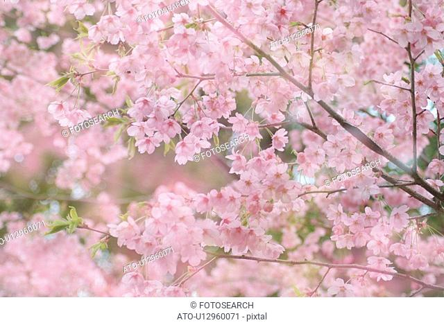 Cherry flowers on branch, differential focus