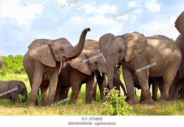 African elephant (Loxodonta africana), cow elephnats with calf, herd of elephants, South Africa