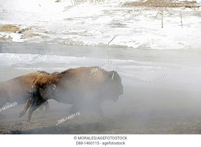 United states , Wyoming-Montana , Yellowstone National Park , Lamar Valley , American Bison  Bison bison