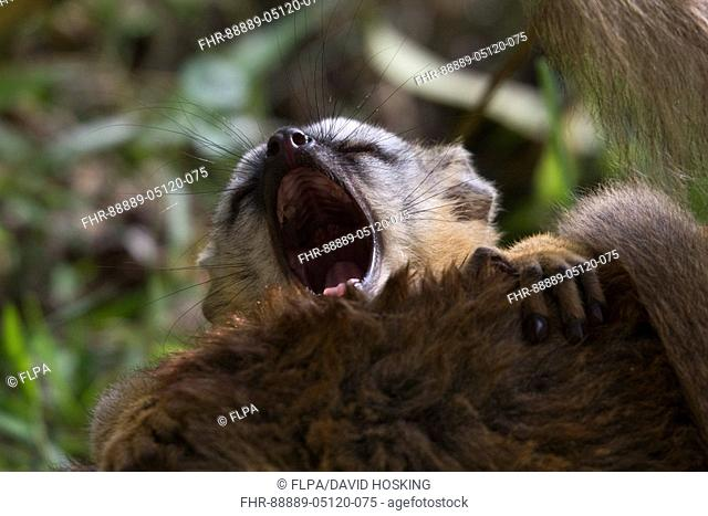 young red fronted brown lemur yawning