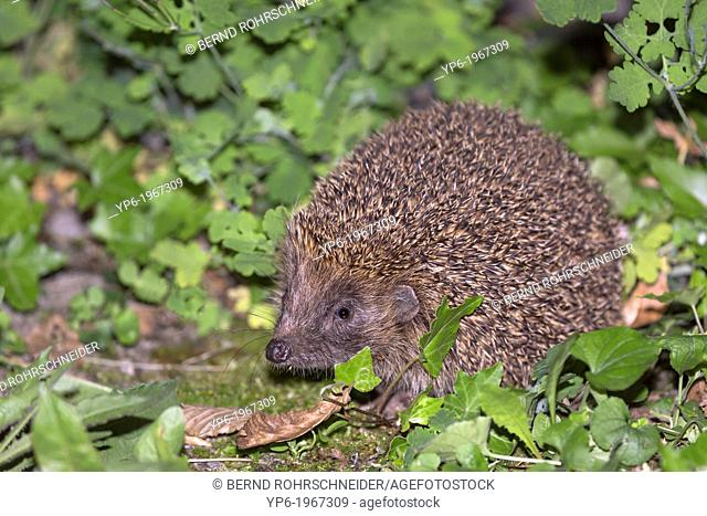European hedgehog (Erinaceus europaeus) in vegetation, Trier, Germany
