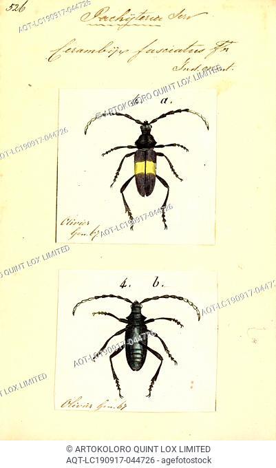Pachyteria, Print, Pachyteria is a genus of round-necked longhorn beetles of the subfamily Cerambycinae