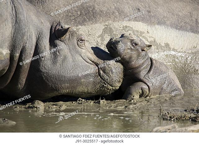 Hippopotamus with young