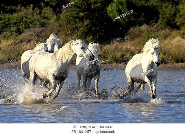 Camargue horses (Equus caballus), herd, gallopping through water, Saintes-Marie-de-la-Mer, Camargue, France, Europe