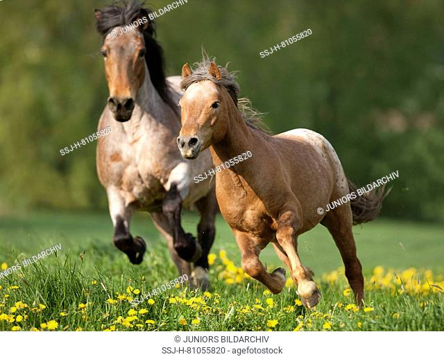 Pony and coldblooded horse galloping on a flowering meadow. Germany.