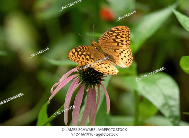 Great Spangled Fritillary  Speyeria cybele  butterfly on a Purple Cone Flower  Echinecea purpurea