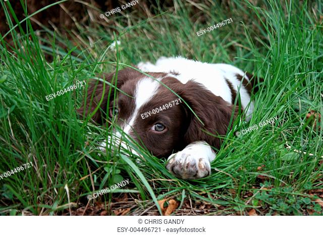 Working English Springer Spaniel puppy lying, watching in long grass