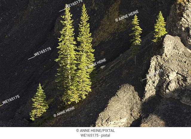 Pine trees illuminated in the otherwise dark Canyon of Sheep River. Sheep Valley National Park, Alberta, Canada