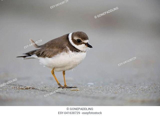Semipalmated Plover (Charadrius semipalmatus) on a Florida beach - Pinellas County