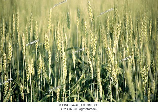 Wheat. Agriculture field