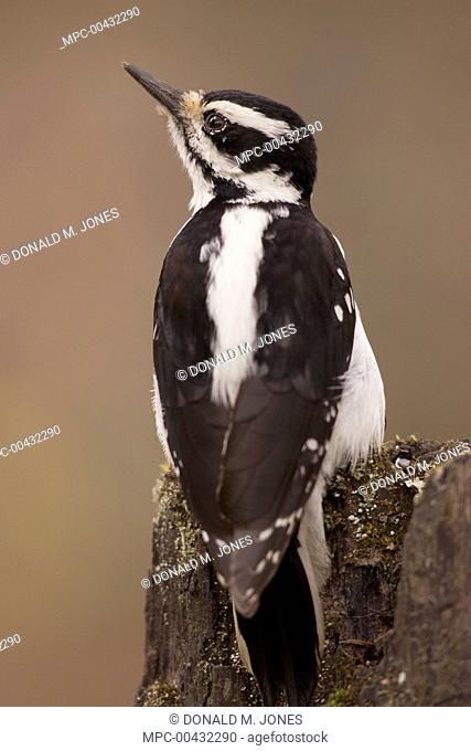 Hairy Woodpecker (Picoides villosus) female on snag, western Montana
