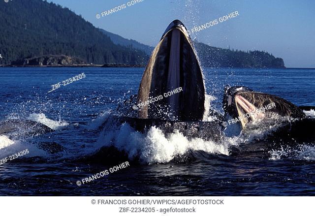 Humpback whale.Megaptera novaeangliae.Cooperative feeding (Bubble net feeding).Southeast Alaska