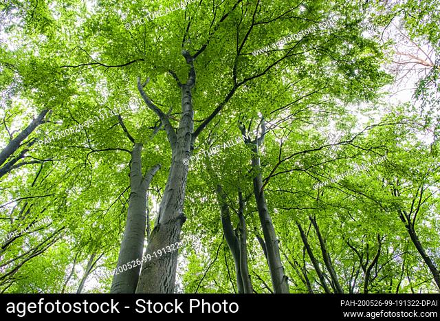25 May 2020, Brandenburg, Rauen: Dense deciduous forest of old beech trees in the Rauenschen Berge in the Oder-Spree district