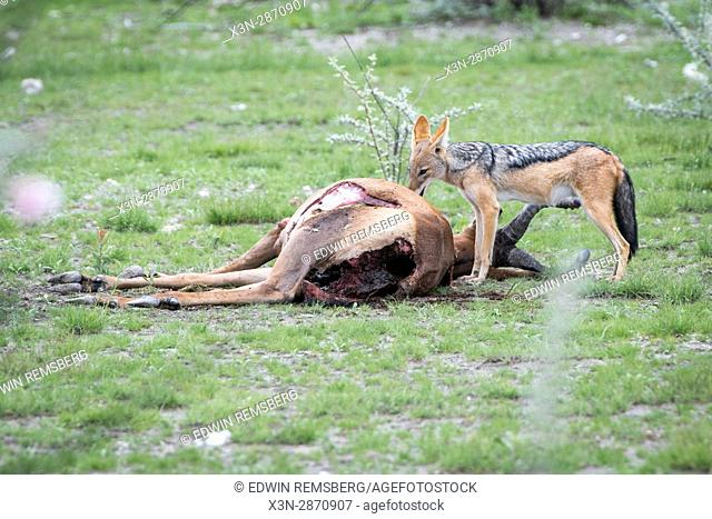 A young black-backed jackal picks at the remains of an impala carcass at Etosha National Park, Namibia, Africa