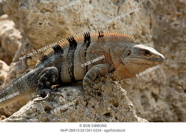 Black spiny-tailed iguana, black iguana, or black Ctenosaur, Ctenosaura similis, on rocky foreshore, Florida