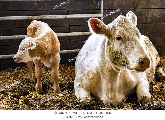 Newborn calf with mother cow in a barn in Sweden