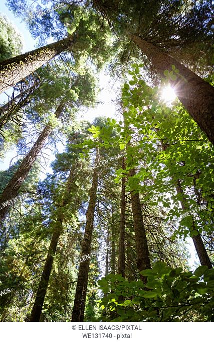 Looking up at tall redwood trees with sun flare peaking through forest in California