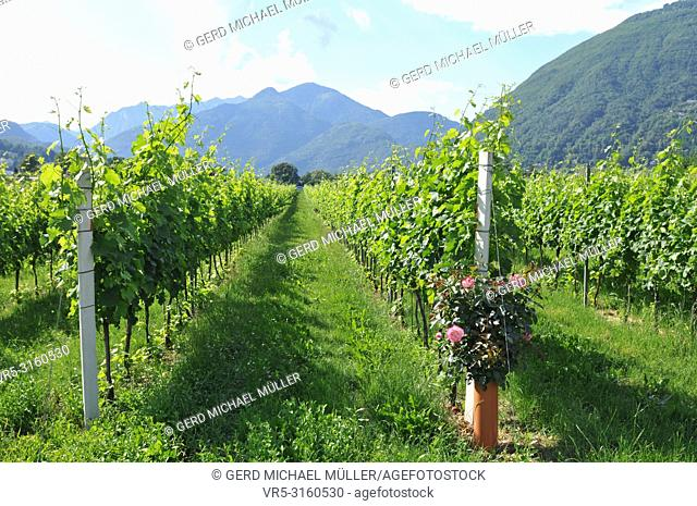 South Switzerland: Wine yards in the Maggia River Delta near Ascona and Locarno City